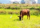 仙游盖尾小乡村,老黄牛和小白鸟,白马和大