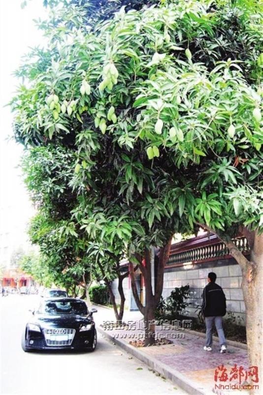 整条平宁路的行道树以芒果树为主,而现在秋风萧瑟,其他芒果树都不见花