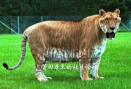 凤凰山动物园来贵宾了——狮虎兽【首次来莆】