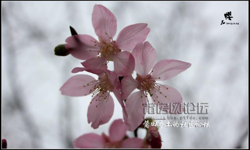 一朵樱花是一种粉色的心情〖仙游来洋〗