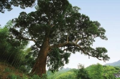 柏木树图片