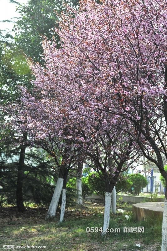 紫叶李.jpg