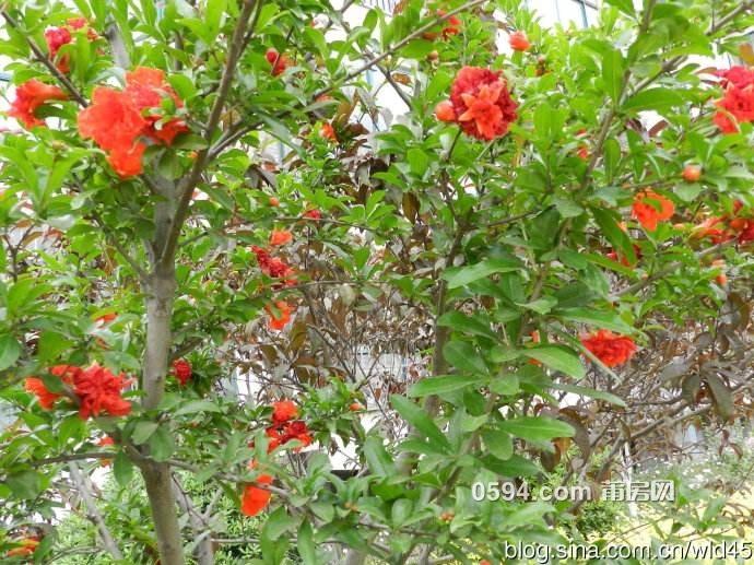 红石榴1.jpg